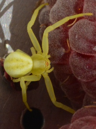 Crab spider on raspberry