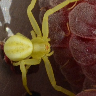 Crab spider on raspberry