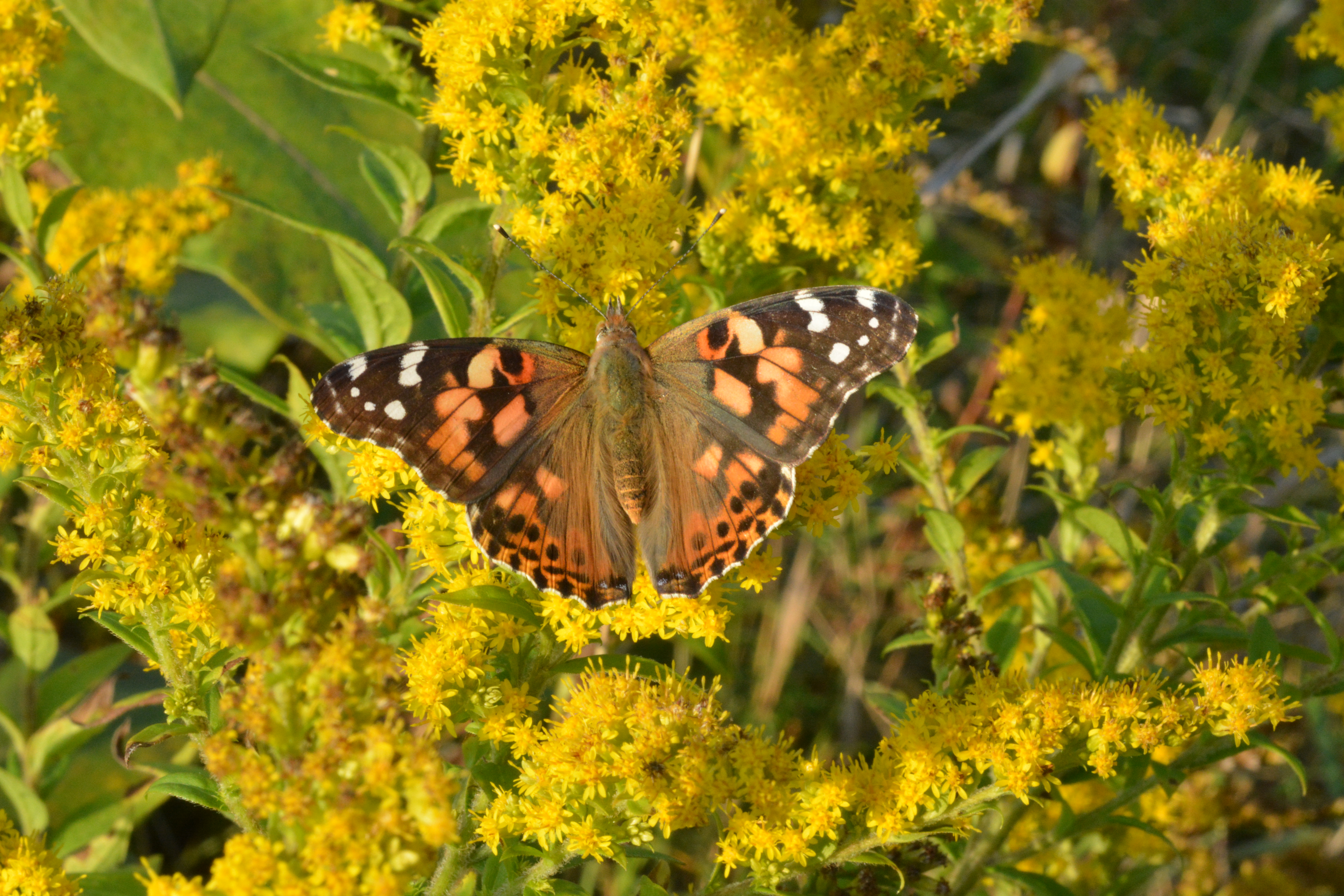DSC_0374 painted lady not cropped
