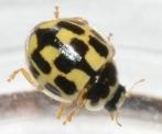 14 spotted ladybug e watson