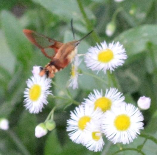 hummingbird moth_ e watson